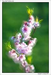 DSC00832_s (mikre_me) Tags: aprilfoolishness dyxumaprilfoolishness dyxum backyardsession backyard afday18 vivitar10028macro kiron10028macro flowers flower spring peach