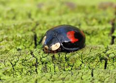 Harlequin Ladybird - Harmonia axyridis (erdragonfly) Tags: harmoniaaxyridis 18apr2019allerthorpe