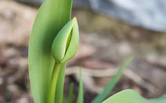 Tulip-to-be (hickamorehackamore) Tags: ct connecticut haddam nwf backyard certified habitat tulip wildlife