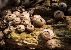 Puffballs (hickamorehackamore) Tags: ct connecticut haddam nwf backyard certified habitat puffballs wildlife