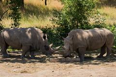 SafariWest-_DSC1536 (Vamsi K) Tags: california nature safari wildlife google santarosa ca usa