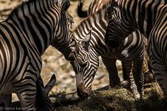 SafariWest-_DSC1570 (Vamsi K) Tags: california nature safari wildlife google santarosa ca usa