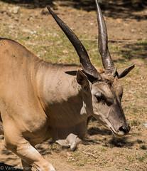 SafariWest-_DSC1573 (Vamsi K) Tags: california nature safari wildlife google santarosa ca usa