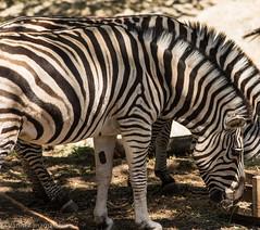 SafariWest-_DSC1578 (Vamsi K) Tags: california nature safari wildlife google santarosa ca usa