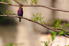 GHIANDAIA MARINA  --  BROAD-BILLED ROLLER (Ezio Donati is ) Tags: uccelli birds animalo animals natura nature alberi trees foresta foresst westafrica costadavorio lamtoarea
