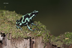 Green-and-black poison arrow frog (featherweight2009) Tags: greenandblackpoisonarrowfrog dendrobatesauratus greenblackpoisondartfrog frogs amphibians