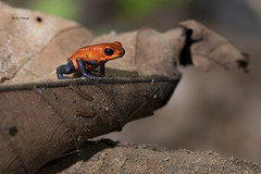 Strawberry Poison Dart Frog-1 (featherweight2009) Tags: strawberrypoisondartfrog oophagapumilio bluejeanspoisondartfrog frogs amphibians