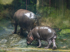 Wax On (Steve Taylor (Photography)) Tags: hippo pygmy hippopotamus animal mammal asia singapore shiny zoo