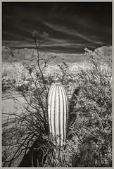 Sabino Canyon IR #21 2019; Young Saguaro (hamsiksa) Tags: desert sonorandesert tucson arizona coronadonationalforest santacatalinamountains bajada sabinocanyonnationalrecreationarea plants desrtplants flora desertflora floraofthesonorandesert xerophytes succulents cacti cactus cactaceae saguaros carnegieagigantea blackwhite landscape desertscape blackwhitelandscape blackwhitedesertscape blackwhiteinfrared infrared digitalinfrared infraredphotography