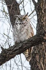 Owl (mhawkins) Tags: bearcreekgreenbelt owl