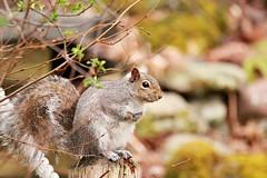 Tired Mom (BSendelbach) Tags: backyard wildlife squirrel graysquirrel