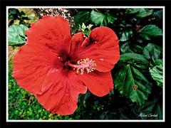 macro de fleurs (flowers) (hcortade) Tags: voyage travel world monde nature vietnam asie asia fleurs flowers couleurs colors macro rouge hibiscus red vert green