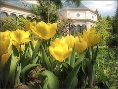(Tölgyesi Kata) Tags: tulip tulipán budapest füvészkert blossom fleur virág botanikuskert botanicalgarden spring withcanonpowershota620 tavasz tulpen tulipa pálmaház