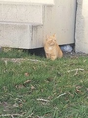 SIGHTING Tabby cat orange and white in #Castleridge. Pls. rt, watch, share, to help find owners. DO NOT CHASE. YYC Pet Recovery shared a post. Young orange cat no collar hiding under someone's steps in Castleridge. Anyone missing this guy ? 2019-04-19T01: (yycpetrecovery) Tags: ifttt april 19 2019 0111am