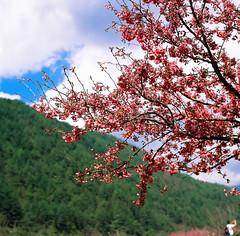 Cherry blossom (Jeanhom Chen) Tags: hasselblad 500cm flower 80cf fujichrome rdpiii 武陵農場