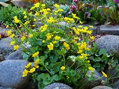 2019 Germany // Unser Garten - Our garden // im April // Sumpfdotterblume (maerzbecher-Deutschland zu Fuss) Tags: garten natur deutschland germany maerzbecher garden april unsergarten 2019 sumpfdotterblume