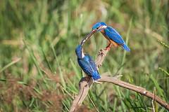 Common Kingfisher,  fish pass (gordon mills) Tags: 2019 bird birds common commonkingfisher kingfisher srilanka yala alcedoatthis alcedininae fishpass