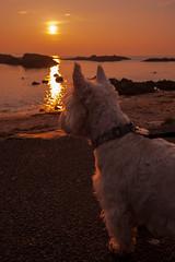 Dougal at Ballintoy (Deirdre Gregg) Tags: causeway coast sea ireland ocean portrush ballintoy portballintrae strand beach golf got game thrones harbour evening sunset dougal dog westie west highland terrier white