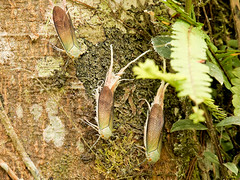 Fulgorid hopper, Pterodictya reticularis (Eerika Schulz) Tags: fulgorid hopper pterodictya reticularis zikade cicada ecuador puyo eerika schulz