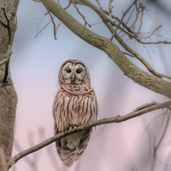 Barred Owl (Strix Varia) (Kevin E Fox) Tags: barredowl owl raptor bird birdwatching birding birds birdofprey birdphotography sigma150600sport sigma nature nikond500 nikon lancaster pa pennsylvania