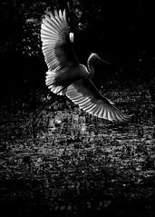 Filigree (ZeePack) Tags: sunrise dramaticsky dawn sun morning water light greatwhiteegret bharatpur landing flying airborne keoladeobirdsanctuary india sony dscrx10miv goldenhour takeoff