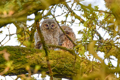 Tawny Owlet (Terry Angus) Tags: owlet tawnyowlet tawny owl chick