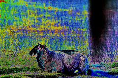 (psychedelic world) Tags: schaf sheep rasen gras grass deich dyke outdoor büsum bunt colored colours peaceful friedlich nordsee northsea psychedelisch psychedelic psychedelicworld tier animal