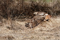 Hawk With Toad (Ken Mattison) Tags: redtailhawk bird hawk birdinflight bif flight nature motion movement panasoniclumix fz1000 outdoor rootriverparkway wisconsin usa