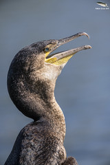 The Tyrannus Rex Pose (Mick Erwin) Tags: cormorant fishing fish nikon afs 600mm f4e fl ed vr lens tc14e teleconverter iii d850 mick erwin stoke trent staffordshire wildlife nature