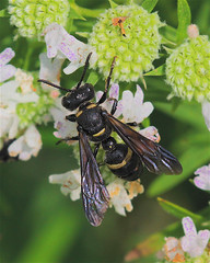 Weevil Wasp (milesizz) Tags: apoidwasps apoidea crabronidae philanthinae cercerini cerceris cercerisfumipennis wisconsin wi milwaukee hymenoptera