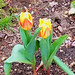 First tulips of spring