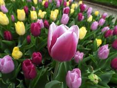 7335ex  Outstanding (jjjj56cp) Tags: flowers flower blossoms blooms buds tulips mixedcolors spring springtime april pink purple white yellow green cincinnatizoo ohio botanicalgardens cincinnati oh cincinnatiohio color colorful vivid p1000 coolpixp1000 nikoncoolpixp1000 jennypansing