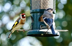 Male goldfinch and female bullfinch (Kumukulanui) Tags: goldfinch bullfinch bird malvern greatmalvern worc ornithology flickrsbest