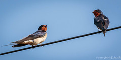 Swallows (pootlepod) Tags: canon7dmkii wildlife swallows take off takeoff flight perched waiting wings rspb devon england hopecove hope cove spring april pair breeding adult male female nude raw naked eyes feet legs beak bill song singing wire highwire tail