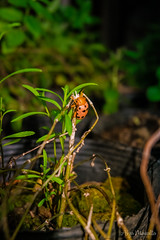 Lady bug hanging around the Tarragon plant! (aizamazed) Tags: bug plants nature living things fuji