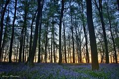 (monforklick) Tags: hasenglöckchen bluebells wald doveren sonnenaufgang