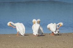 Everyone wants to be pretty (Vladimir & Elena) Tags: nature travel florida animals pelicans whitepelicans jndingdarlingnwr preening