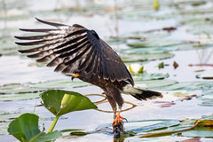 Snail Kite Successful in Hunting an Apple Snail 2 of 3 (dbadair) Tags: outdoor lake water nature wildlife pluck 7dm2 ef100400mm ocean canon florida bird bif flight apple snail kite fl slim hooked bill endangered