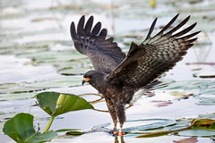Snail Kite Successful in Hunting an Apple Snail 1 of 3 (dbadair) Tags: outdoor lake water nature wildlife pluck 7dm2 ef100400mm ocean canon florida bird bif flight apple snail kite fl slim hooked bill endangered