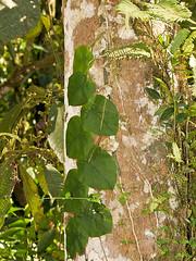 P1037381 (Eerika Schulz) Tags: pflanze plant ecuador puyo eerika schulz