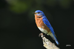 Eastern Bluebird (jt893x) Tags: 150600mm bird bluebird d500 easternbluebird jt893x male nikon nikond500 sialiasialis sigma sigma150600mmf563dgoshsms songbird thrush thesunshinegroup coth alittlebeauty sunrays5 ngc