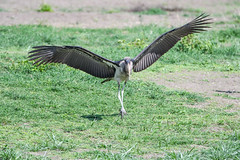 Marabu (Robert Styppa) Tags: tanzania nikon nikond850 robertstyppa africa wildlife serengeti ngorongoro marabu