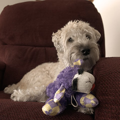 purpletoy (Eric.Ray) Tags: dog square project 2019 365 color dslr nikon animal portrait toy purple serif affinity photo