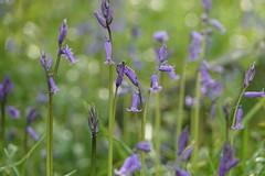 Bluebells (ec1jack) Tags: kierankelly ec1jack london england britain uk europe spring 2019 woods forest bluebells wanstead eastlondon