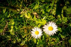 Margeriten (chrispics4ever) Tags: chrispics4ever margariten margerite blumen flowers flowerpower naturpur natur frühlingsgefühle frühling frühlingserwachen