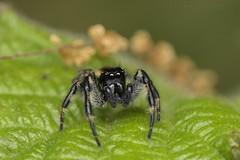 Carrhotus xantogramma, mâle (ripisylve de l'Adour, Bernac-Debat) (G. Pottier) Tags: afsvrmicronikkor105mmf28gifed jumpingspider carrhotusxantogramma salticidae springspinne araignée spinne spider araignéesauteuse araneae araneomorphae d850 macro macrophotography bigorre occitanie biodiversité arthropoda