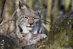 Eurasian lynx - Zoo Duisburg (Mandenno photography) Tags: animal animals dierenpark dierentuin dieren duitsland duisburg zoo zooduisburg germany ngc natgeo natgeographic bigcat big cat cats lynx eurasian luchs