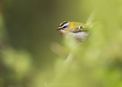 Firecrest Cover W 19th April (Gavin Vella) Tags: firecrest crest bird birds birdsuk nature naturephotography natureuk animals wildlife wild wildlifephotography wildlifeuk britishwildlife british britishbirds gavin gavinvella gavinvellanature wwwgavinvellacom