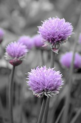 Chive Flower heads (sweetpeapolly2012) Tags: flowers gardenflower garden spring chives