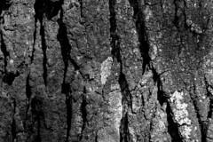 Bark (hermann.kl) Tags: baum tree rinde bark schwarzweis blackandwhite monochrom